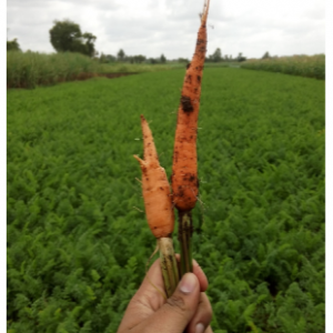 Difference - Carrot