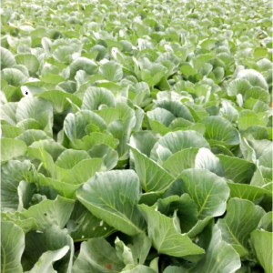 Wealth Used Cabbage (2)