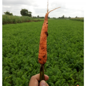 With using - Carrot