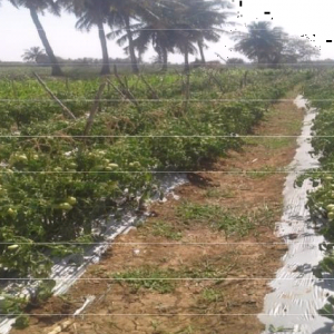 tomato crop 3