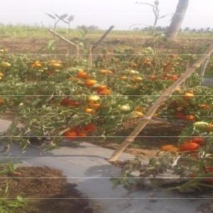 tomato crop 4